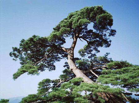 健壮的松树