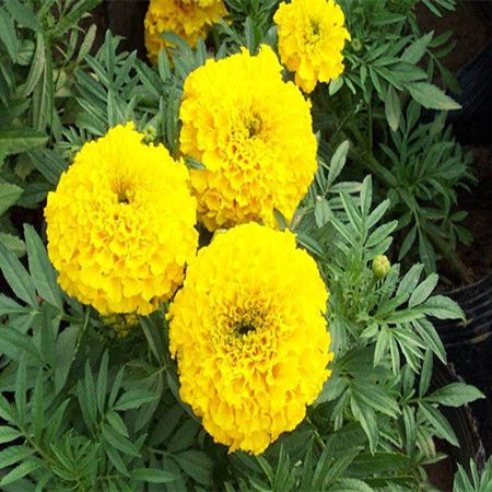黄色的万寿菊