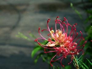 红花银桦花朵
