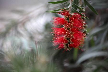 红千层花朵