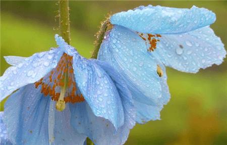 绿绒嵩花朵