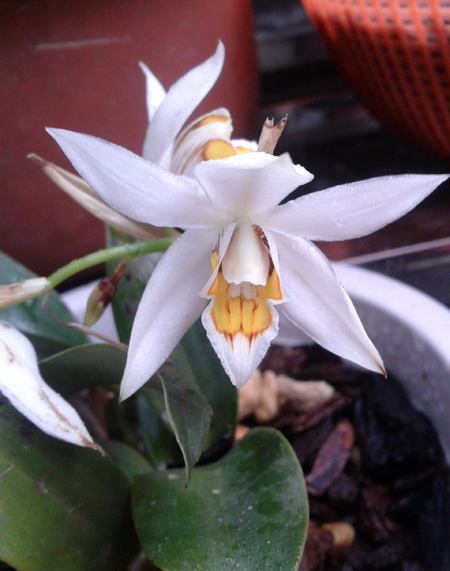 贝母兰的花朵