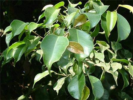 垂叶榕植株