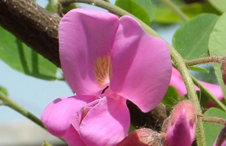 富贵树的花朵