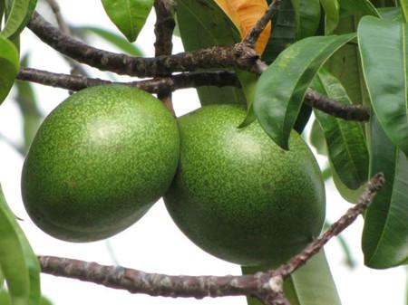 海芒果果实
