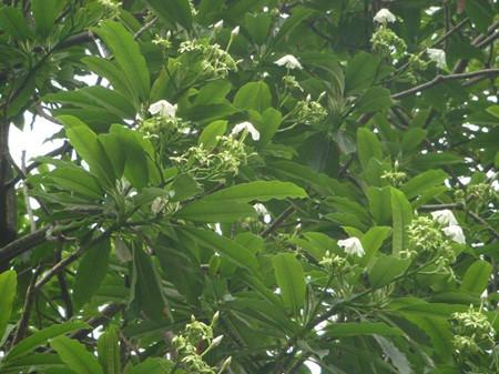 海芒果植株