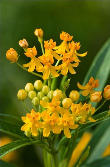 马利筋的花朵
