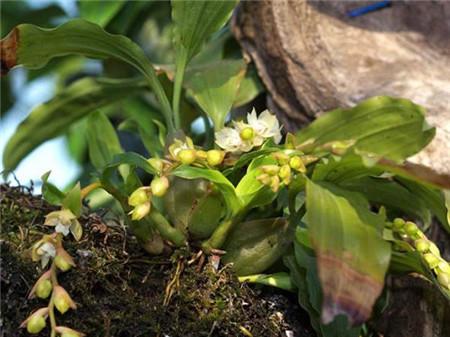 石仙桃植株