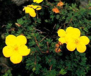 金露梅的花