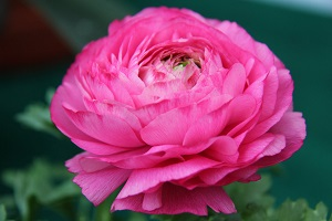芹叶牡丹的花朵