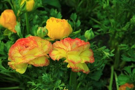 芹叶牡丹花朵