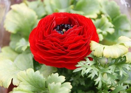红色的芹叶牡丹