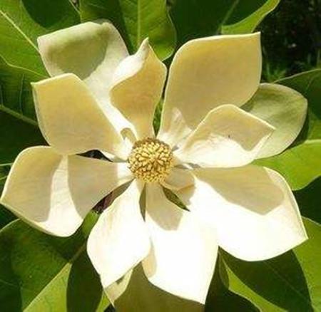 厚朴的花朵