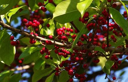 红果冬青植株