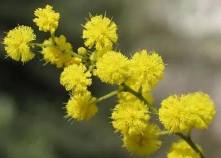 金合欢花朵
