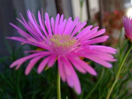 龙须海棠的花朵