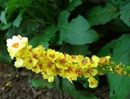开花的毛蕊花