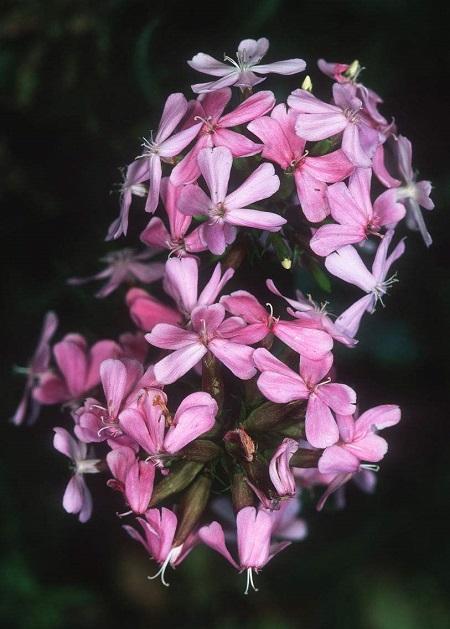 肥皂花的花