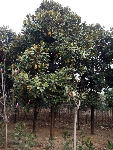 荷花玉兰树
