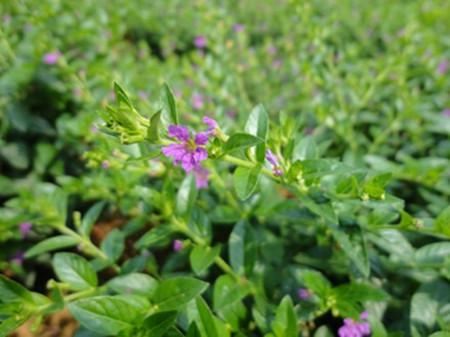 紫萼距花植株