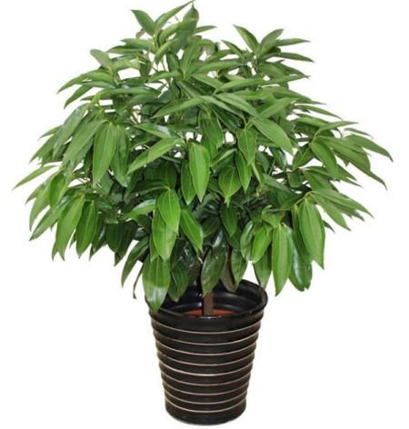 盆栽平安树