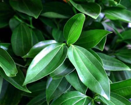 平安树的叶片
