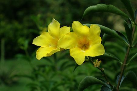 软枝黄蝉植株