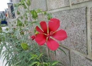 箭叶秋葵的花朵