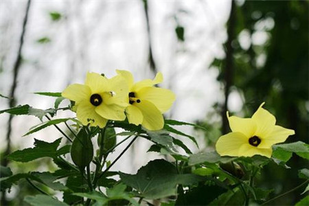 好看的黄葵花