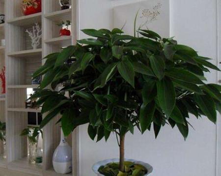 平安树盆栽