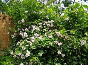 清雅的野蔷薇
