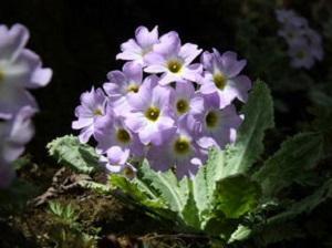 苣叶报春花朵