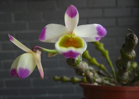 肿节石斛花