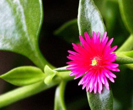 牡丹吊兰的花