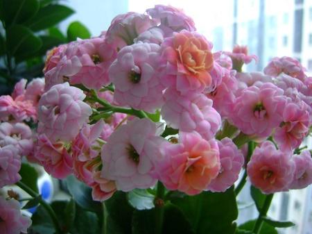 盆栽长寿花