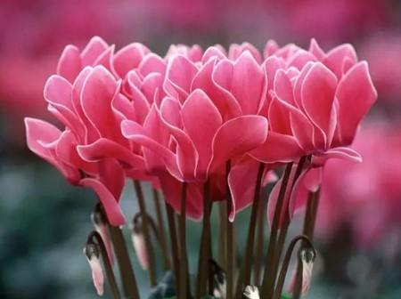 仙客来花朵