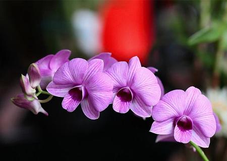 蝴蝶石斛植株