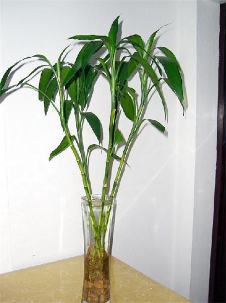 富贵竹盆栽