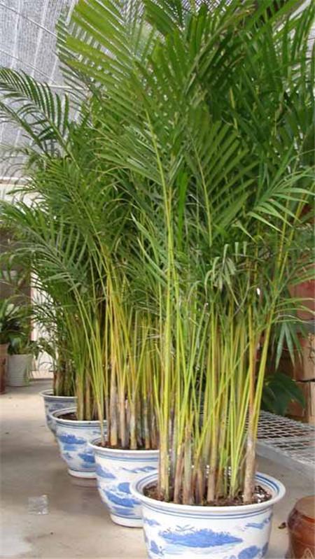 美丽的凤尾竹