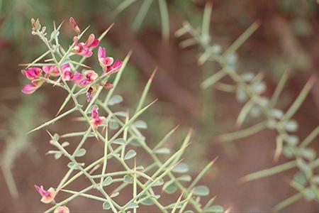 骆驼刺植株