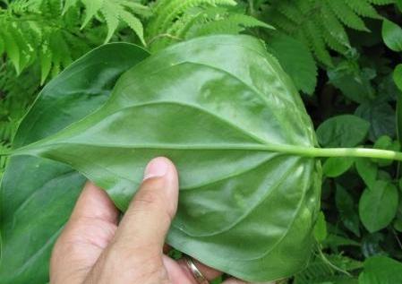 尖尾芋的叶片