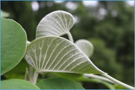 白花银背藤的叶片