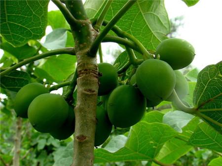 麻疯树的果实