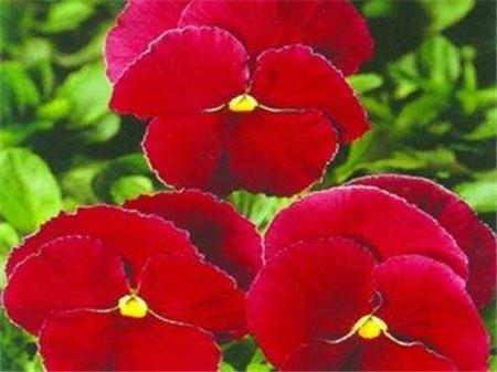 红色三色堇