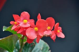 好看的四季海棠花朵