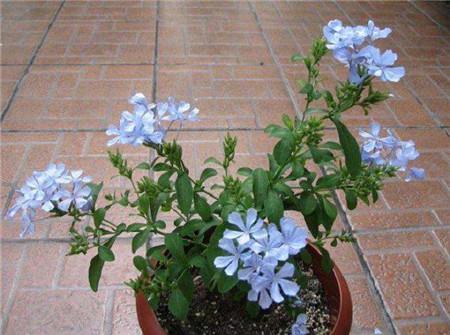 蓝雪花盆栽