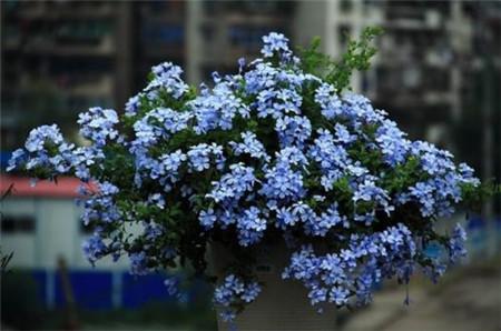 蓝雪小花朵