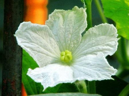 美丽的葫芦花