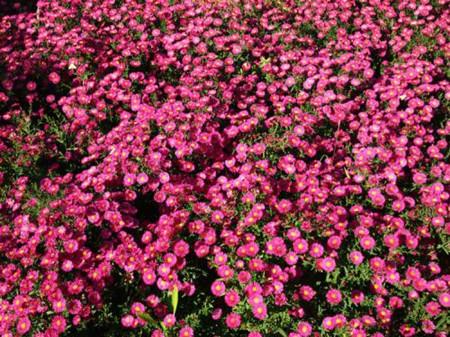 美丽的荷兰菊
