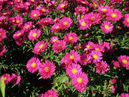 漂亮的荷兰菊